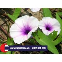 Hoa đất sét Bìm Bìm-hoa Thiên Đường morning glory clay flower