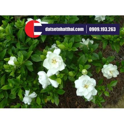 Hoa đất sét chi tử đinh hương, nhài tây, hoa dành dành, hoa chi tử gardenia clay flower