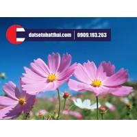 Hoa đất sét Cúc Peru Cosmos clay flower