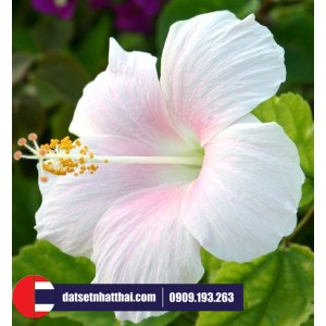 Hoa đất sét Dâm Bụt - Bông Bụp Rosemallow Hibiscus clay flower