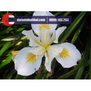 Hoa đất sét diên vỹ Iris clay flower