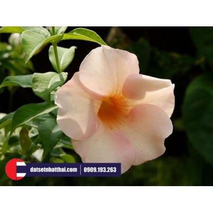 Hoa đất sét hoa loa kèn Trumpet morning glory clay flower