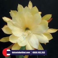 Hoa đất sét hoa quỳnh Stapple Caligraphy Orchid Cactus clay flower