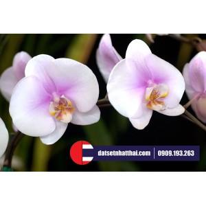 Hoa đất sét Lan hồ điệp Phalenopsis orchids (moth orchids) clay flower