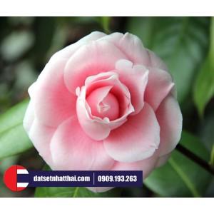 Hoa đất sét Trà My Camellia clay flower